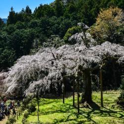 神奈川県の桜の名所